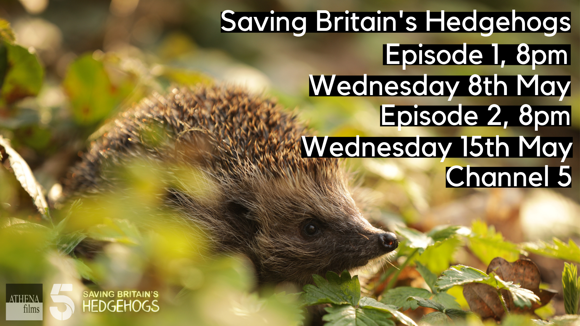 Don't Miss 'Saving Britain's Hedgehogs' with Steve Backshall and Dr Brian Mayon on Channel 5 tonight.
