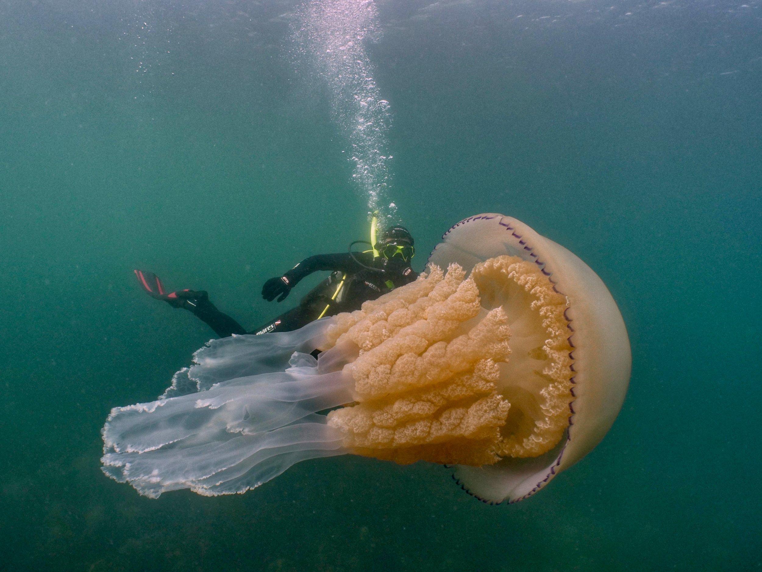 Jellyfish lizzie Daly copyright is Dan Abbott.jpg