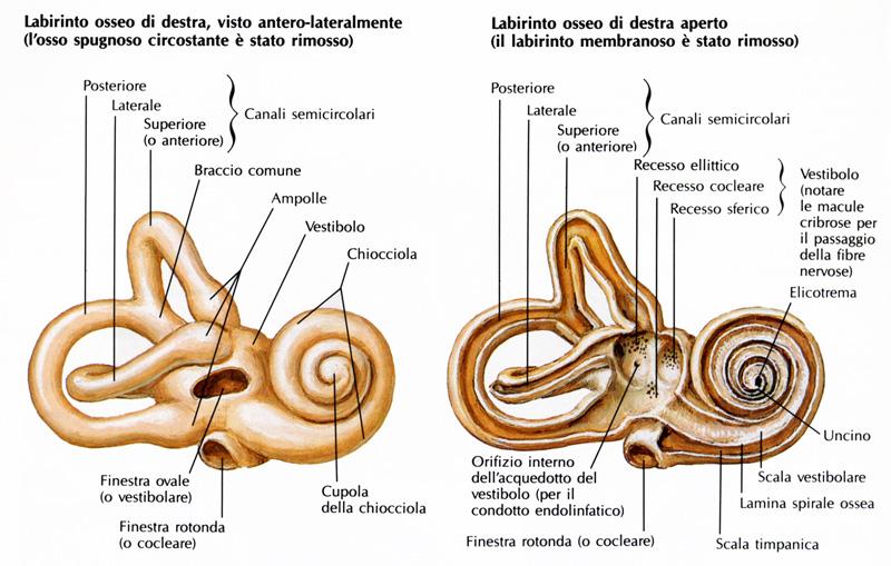2-coclea-la-chiocciola-dell-orecchio-udisens-news.jpg