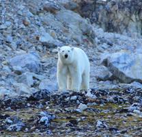 Bad boy polar bear.