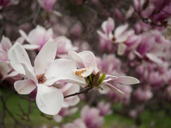 Magnolia-tree-1020537.jpg