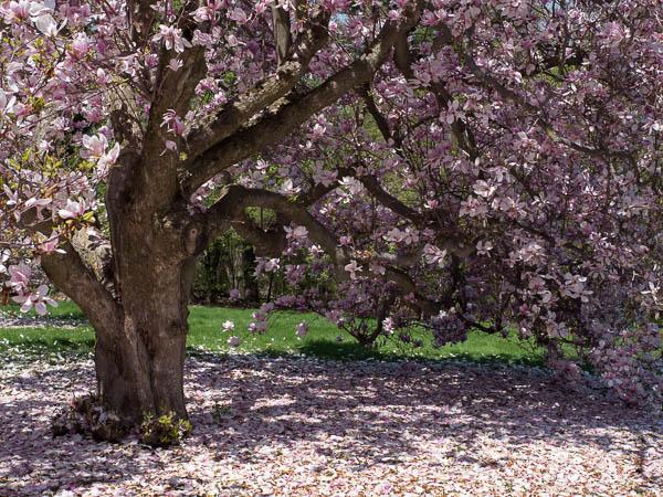 Magnolia-tree-1030064.jpg