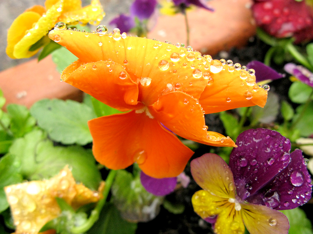 Orange Pansy With Droplets.jpg