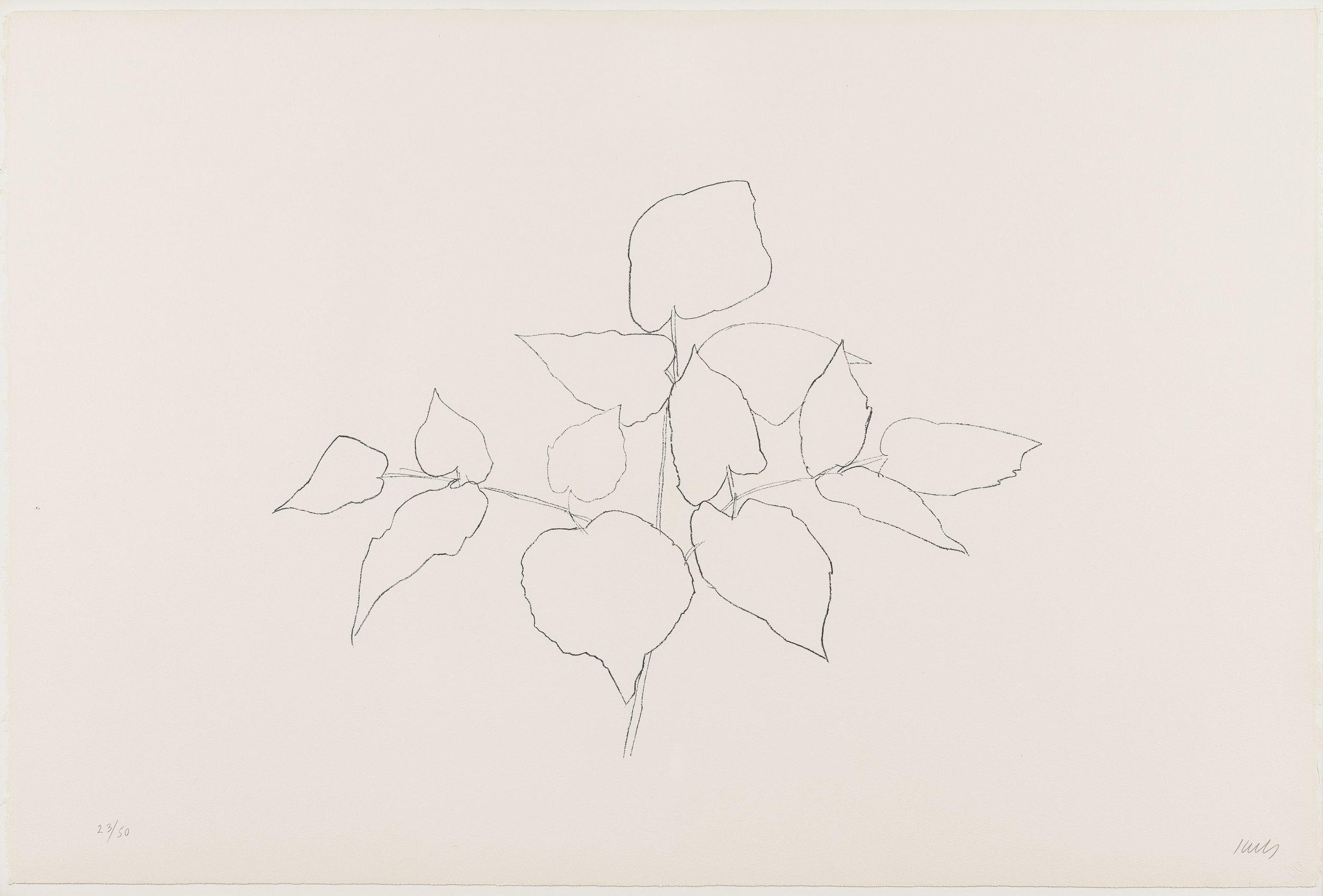 Ellsworth Kelly  (1923-2015)  Sarsaparilla (or Ailanthus Leaves) , 1979-80 Transfer lithograph 31 1/2 x 47 inches