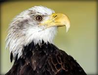 Still-Chasing-Eagles_art - Glenda Borchelt.jpg