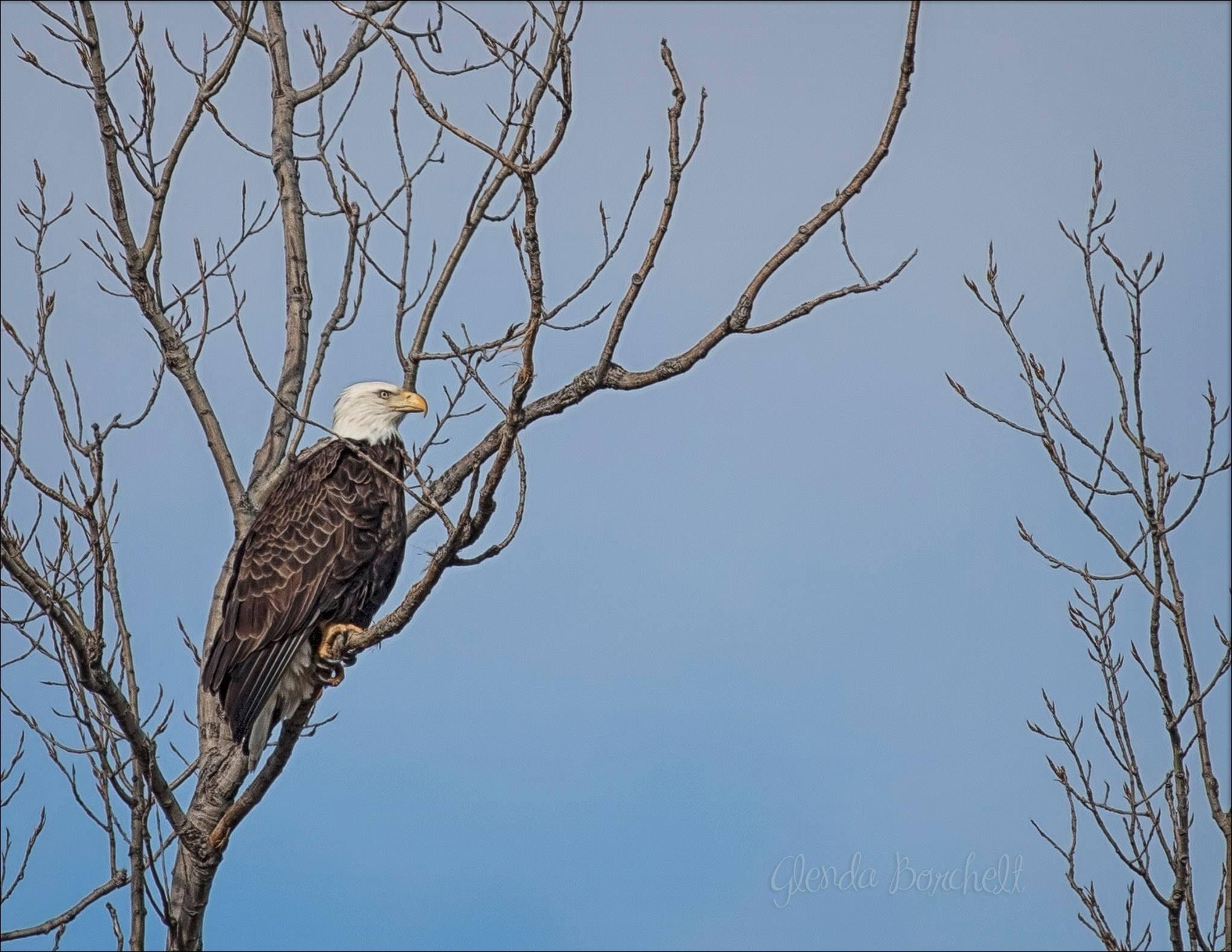 Eagle - Glenda Borchelt.jpg