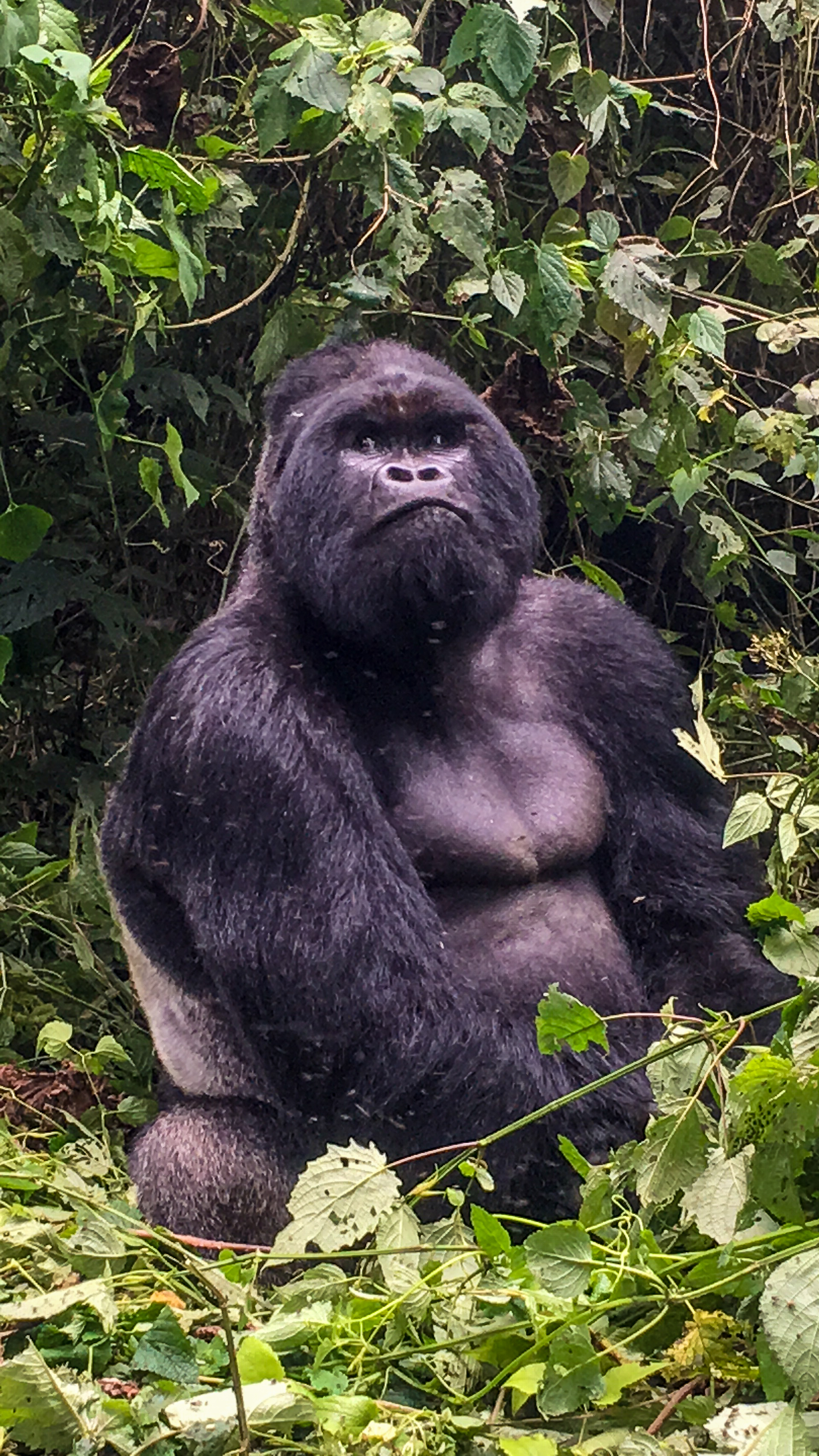 Silverback. Congo's Mountain Gorillas. Such gentle creatures that need us to care about the protection of their home and their babies who are threatened by poachers everyday.