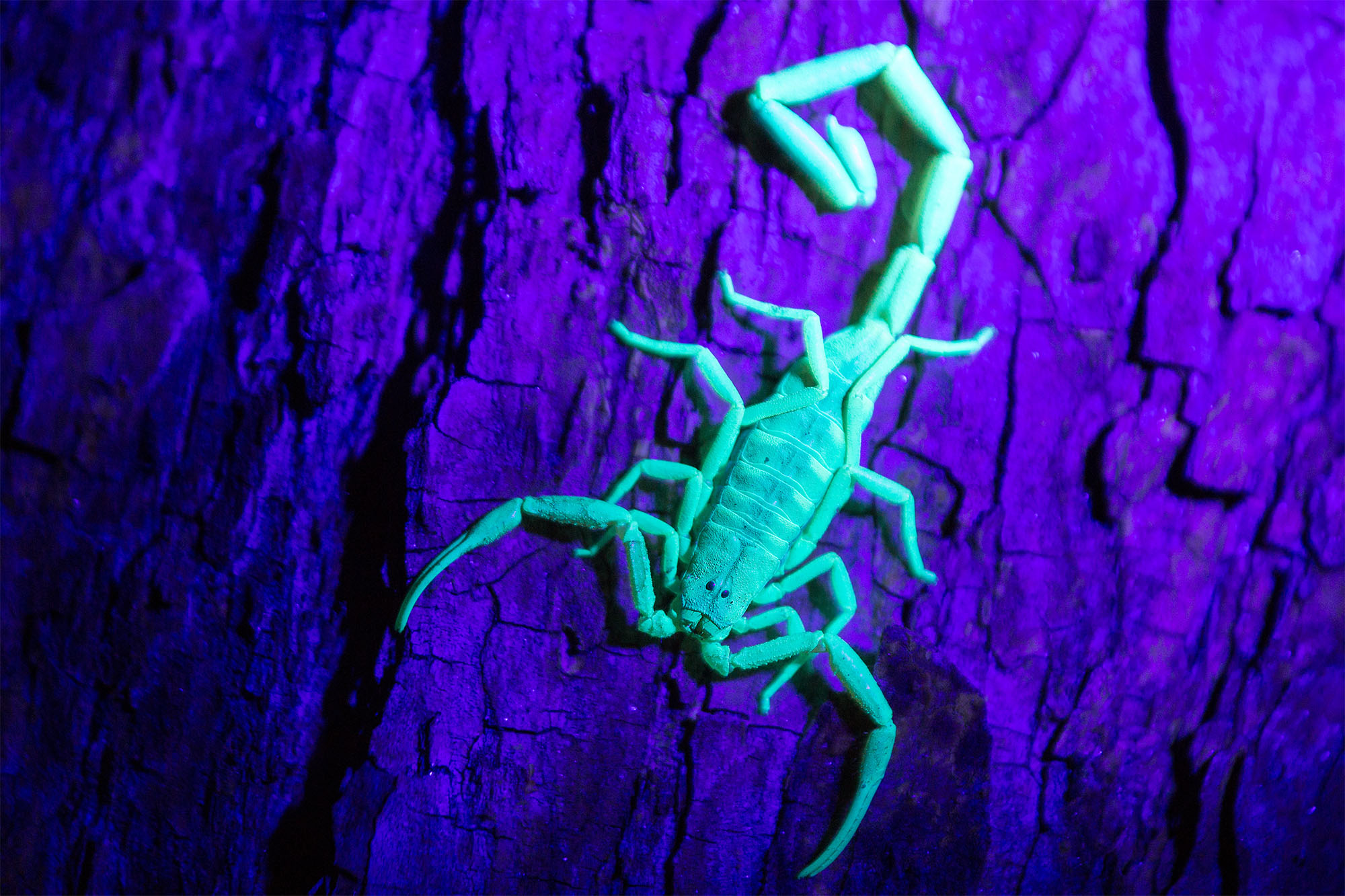 Above:  A common Tree Bark Scorpion,  Uroplectes otjimbinguensis,  fluoresces when exposed to ultraviolet light.