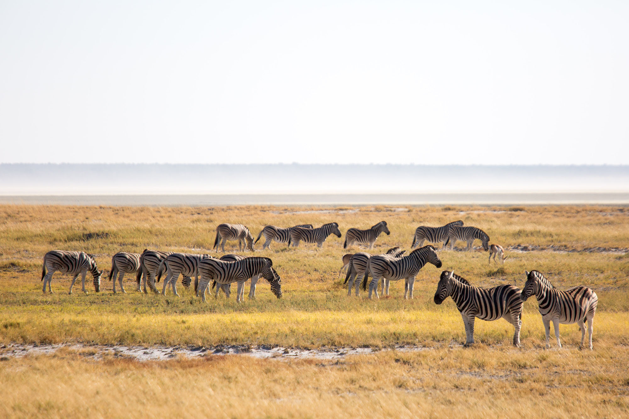 Zebras in Etosha National Park.