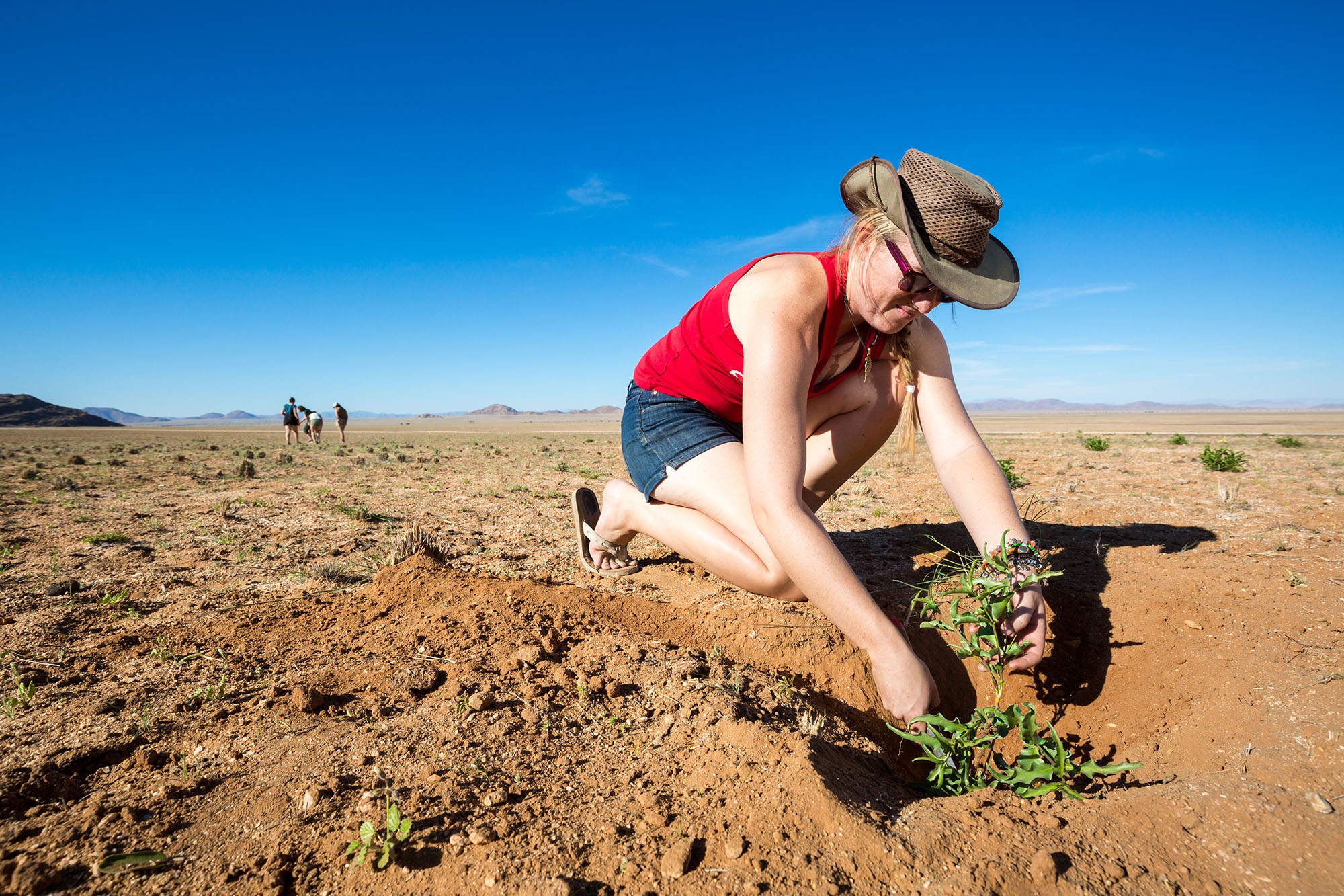 Jessica Sack, research technician at Gobabeb digs to retrieve the tuber of  R. haeneliae .