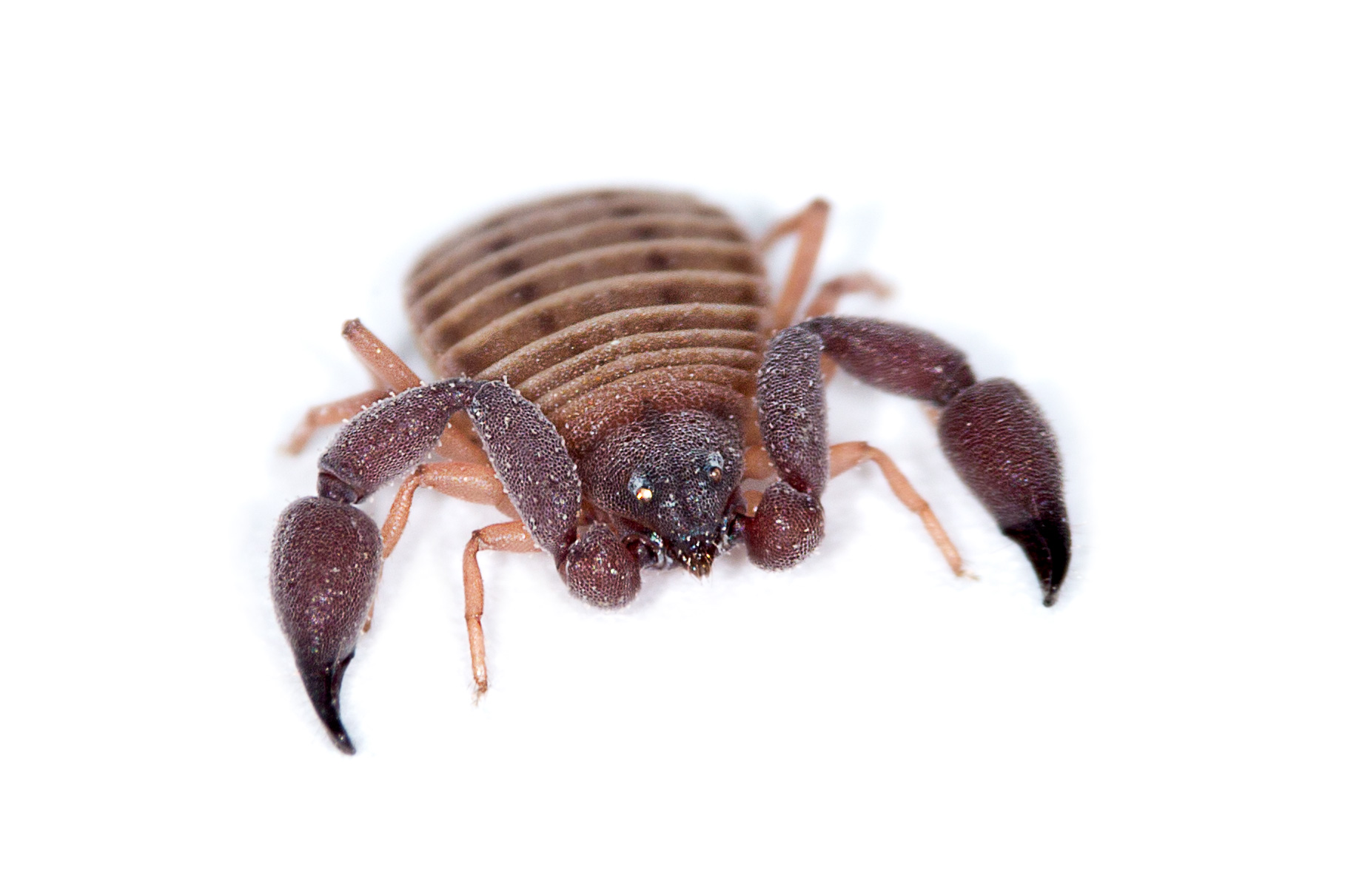 Pseudoscorpion found under a rock in the Namib Sand Sea.