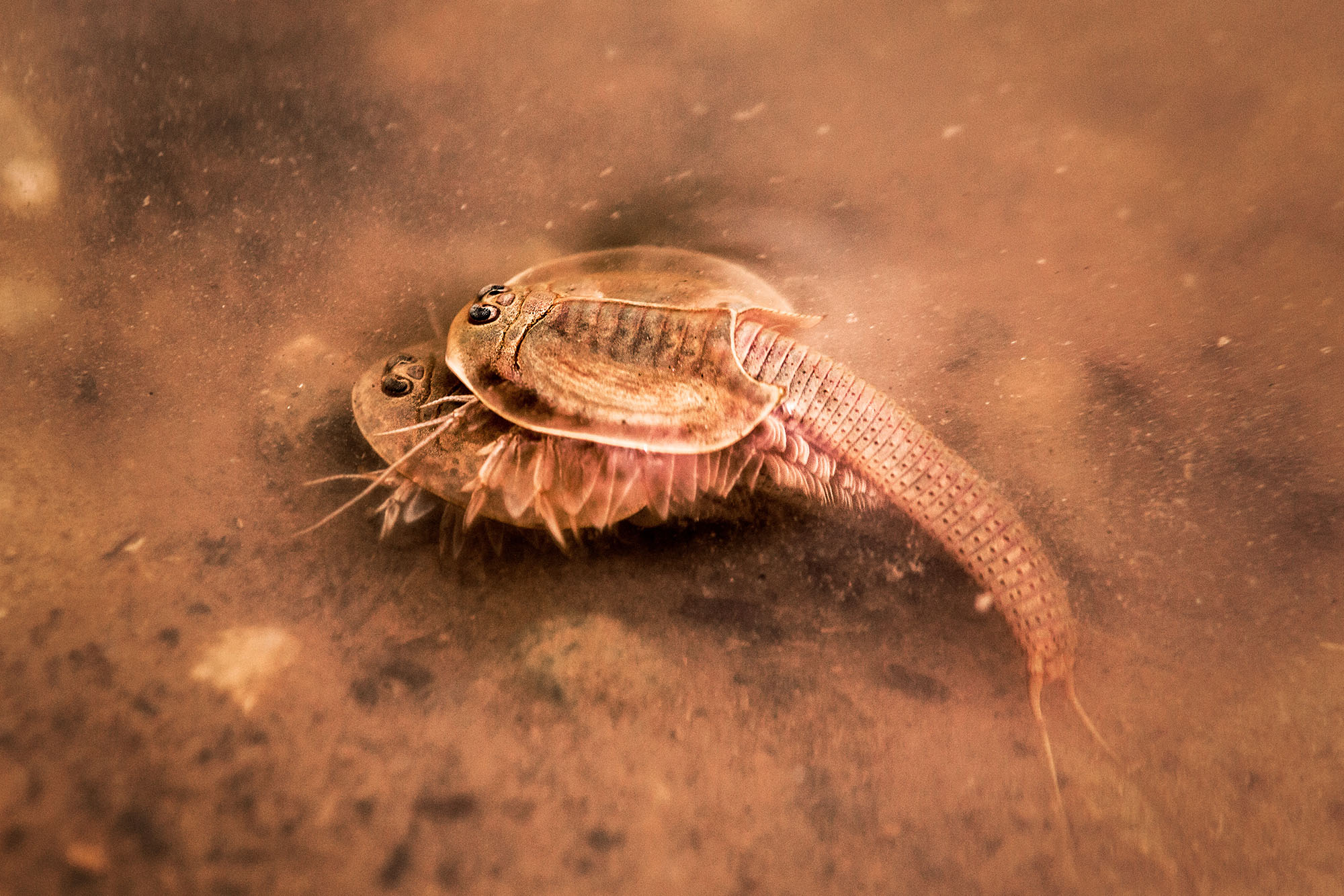 Triops  attempting to mate at the bottom of the murky pool.