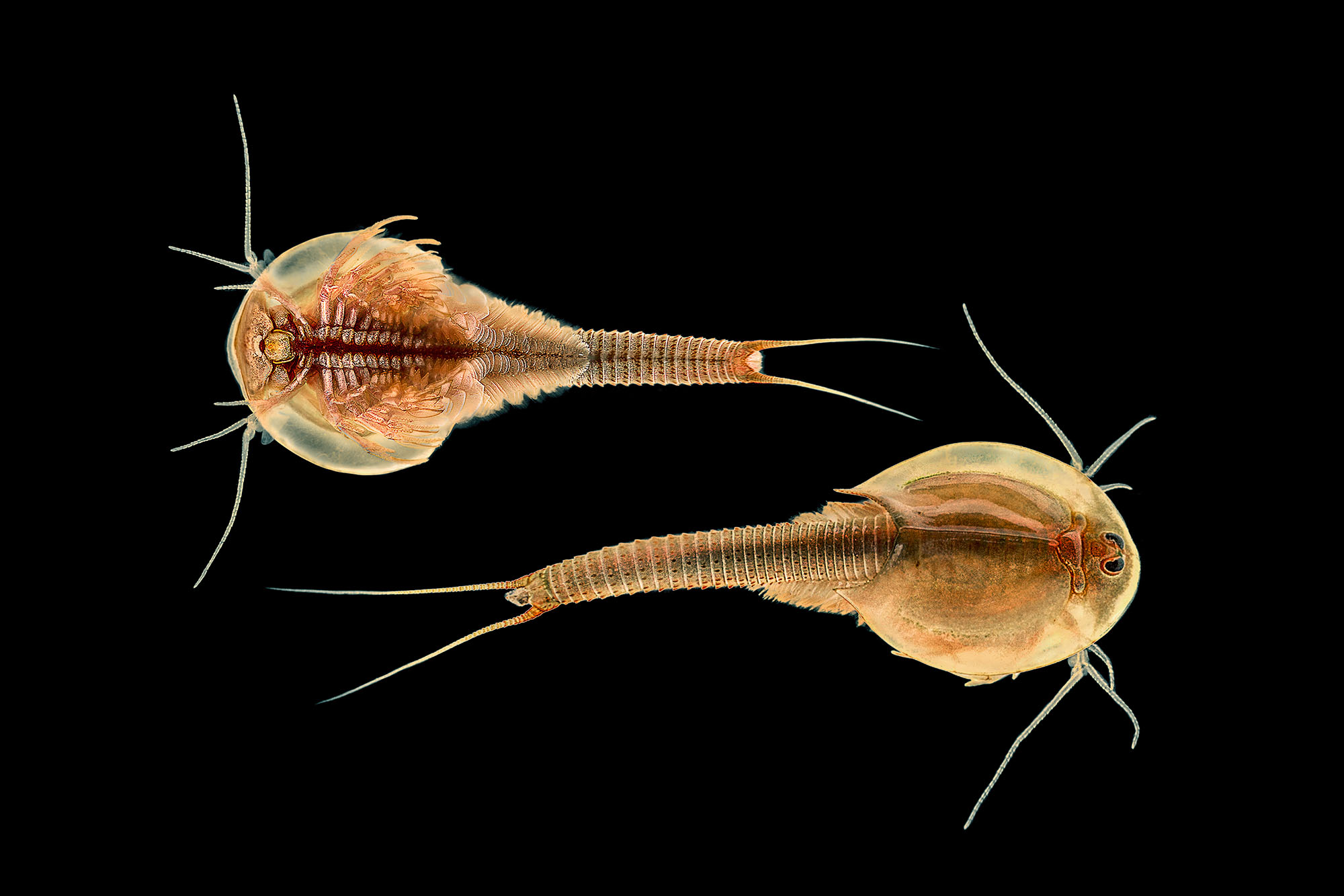 Bottom and top view of a  Triops  found in a temporary Namib Desert pool. It is believed that the species is  Triops   granarius    -   currently the only species of  Triops  known to occur in Namibia (Curtis, 1991b).