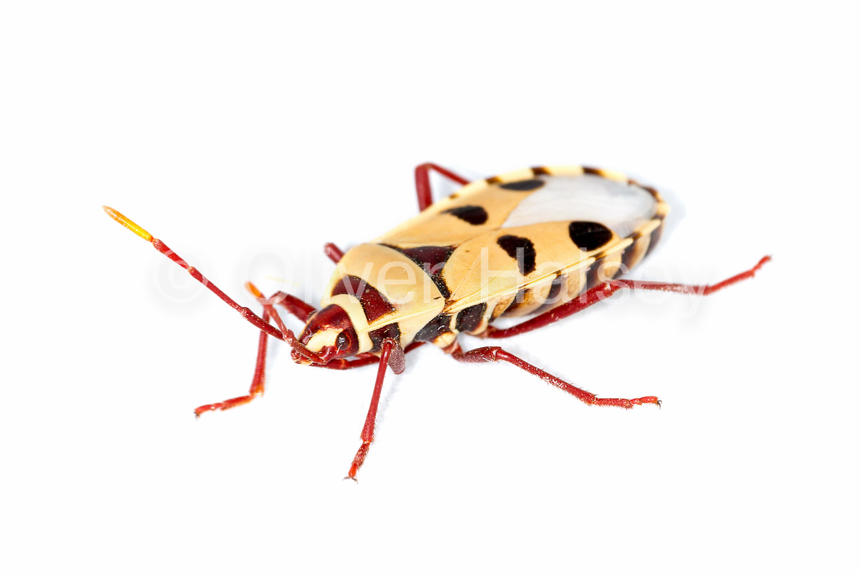 M3.  Adult Welwitschia Bug,  Probergrothius angolensis