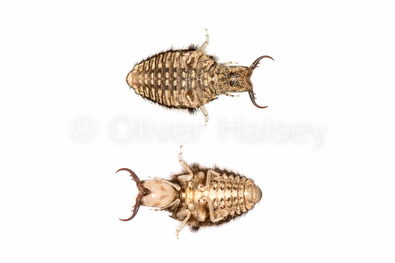 M4.  Pit-digging antlion larva