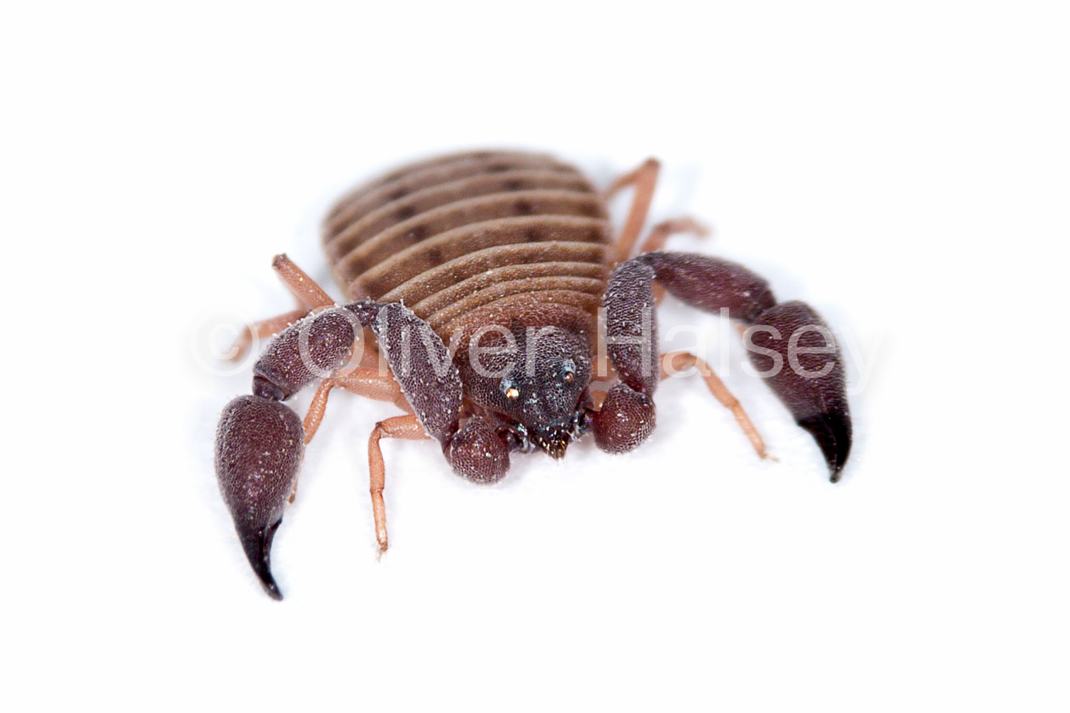 M12.  Pseudoscorpion, unknown species. Found under a rock on an interdune of the Namib Sand Sea