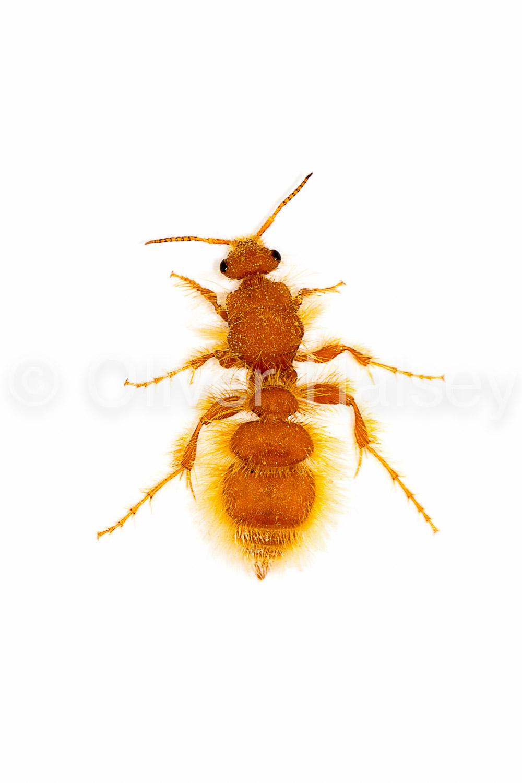 M19.  Flightless Wasp  Apterogyna schultzei