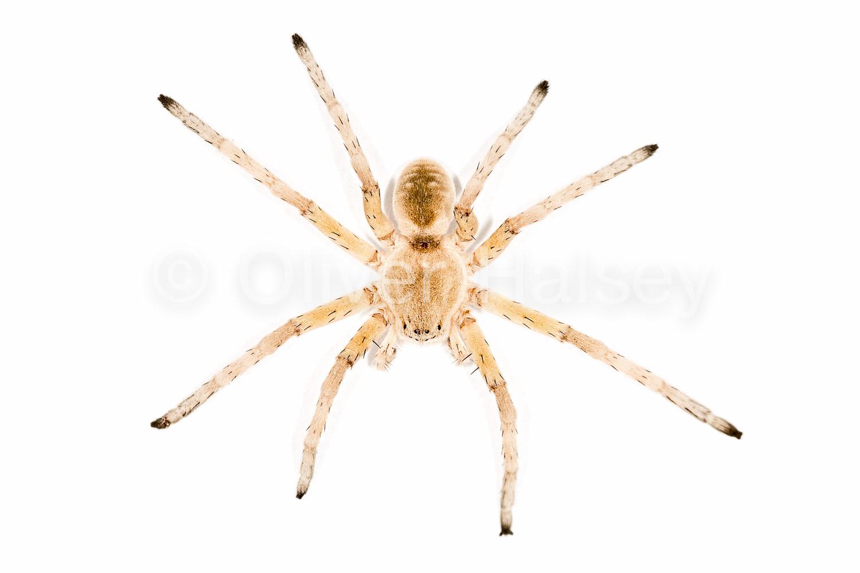 M25.  Wheel Spider,  Carparachne aureoflava