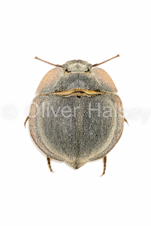 M28.  Trench Beetle,  Lepidochora discoidalis