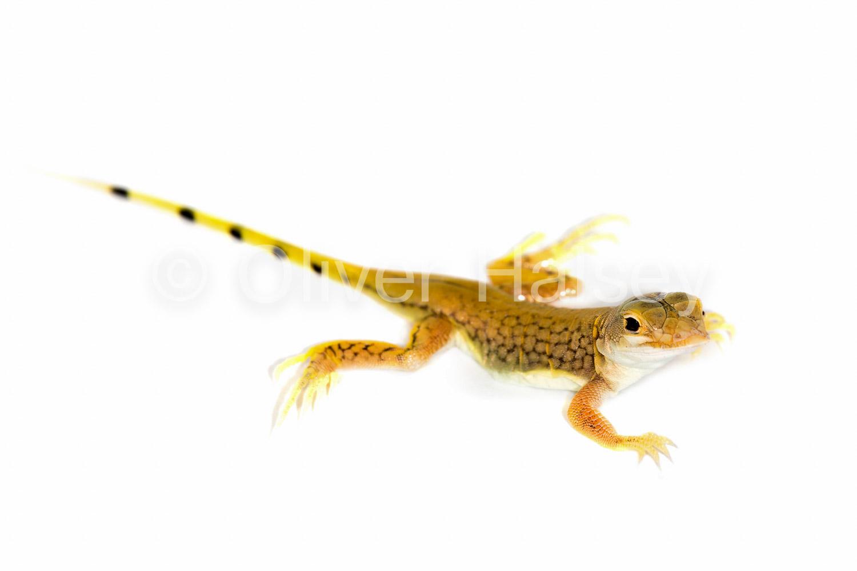 M30.  Shovel Snouted Lizard,  Meroles anchietae