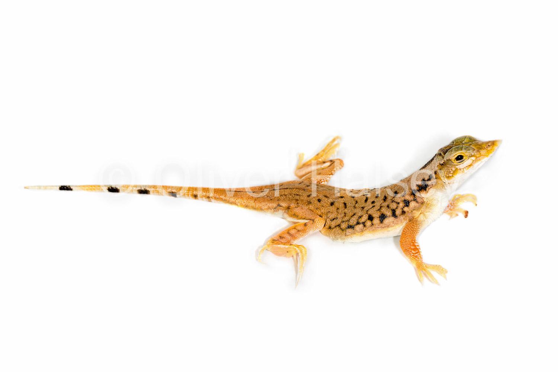 M32.  Shovel Snouted Lizard,  Meroles anchietae