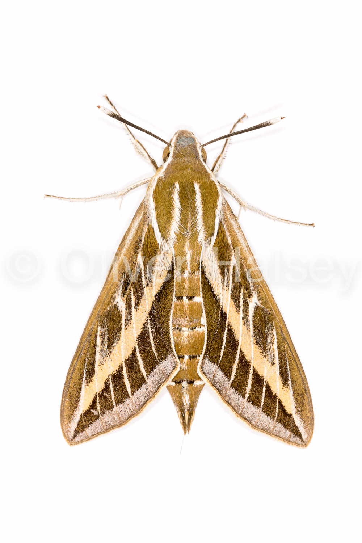 M33.  Moth