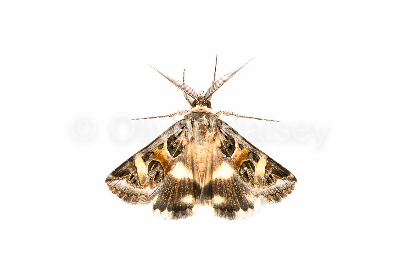 M36.  Moth