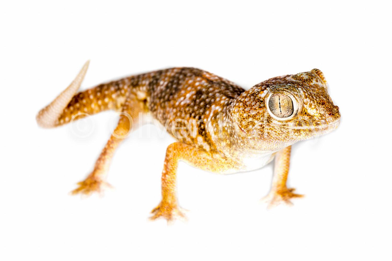 M37.  Giant Ground Gecko,  Chrondrodactylus angulifer