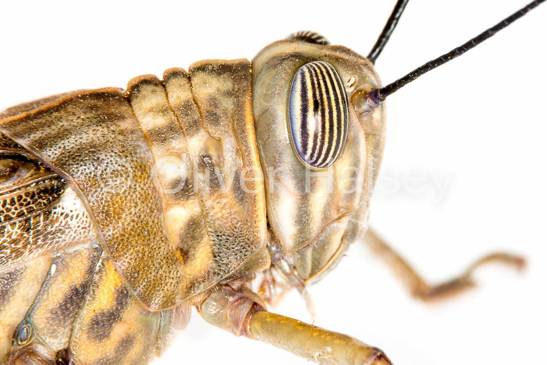 M53.  Grasshopper