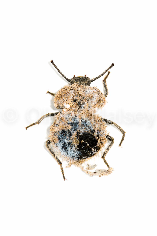 M58.  Mouldy Beetle (Eurychora)