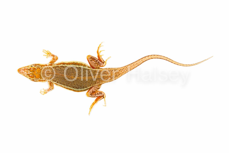 M75.  Wedge-snouted sand lizard,  Meroles cuneirostris