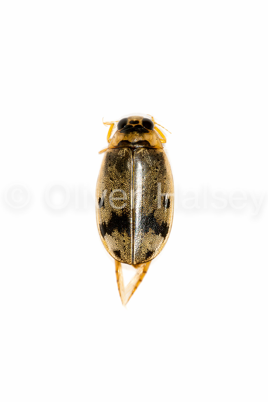 M77.  Diving Beetle,  Eretes sticticus