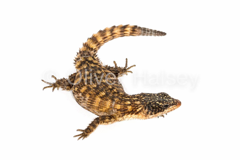 M79.  Girdled Lizard  - Namazonurus pustulatus
