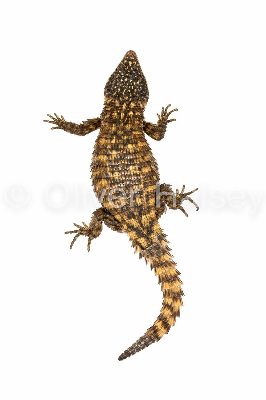 M80.  Girdled Lizard  - Namazonurus pustulatus
