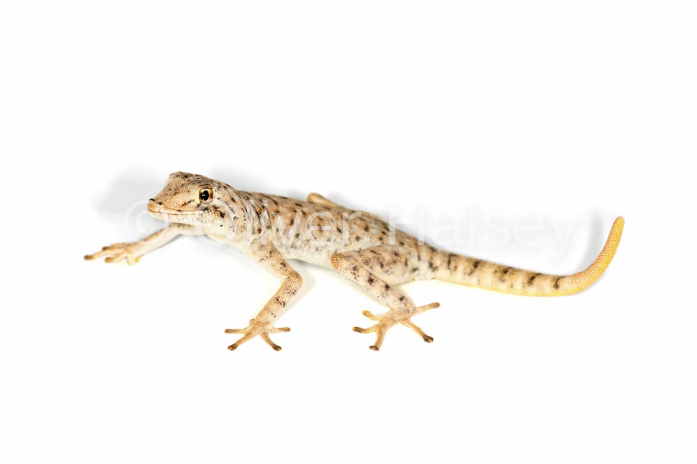 M82.  Namib Day Gecko
