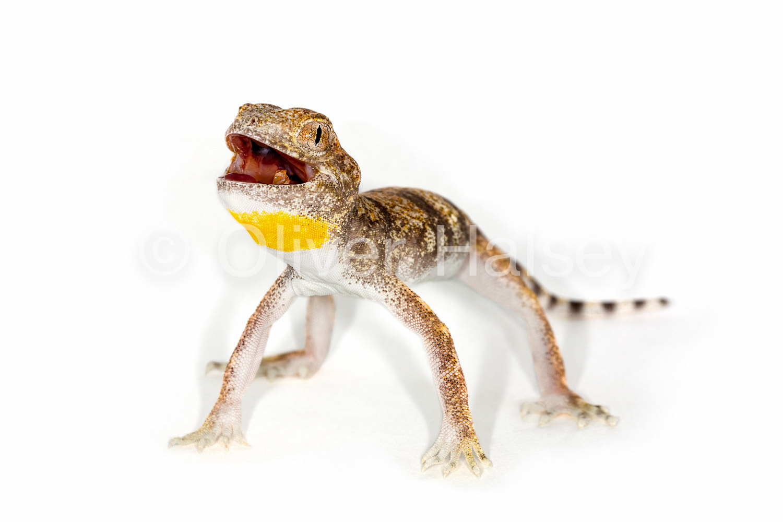 M86.  Barking Gecko,  Ptenopus carpi