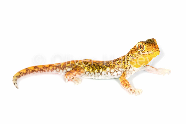 M87.  Barking Gecko,  Ptenopus kochi