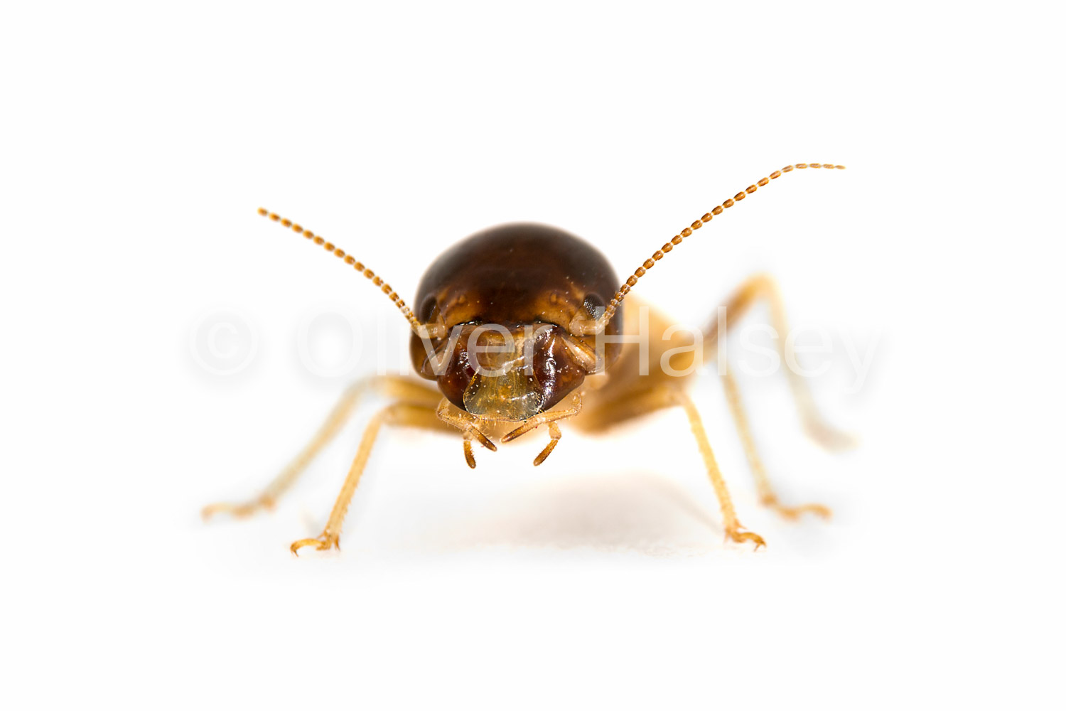 M90.  Harvester termite worker -  Hodotermes mossambicus