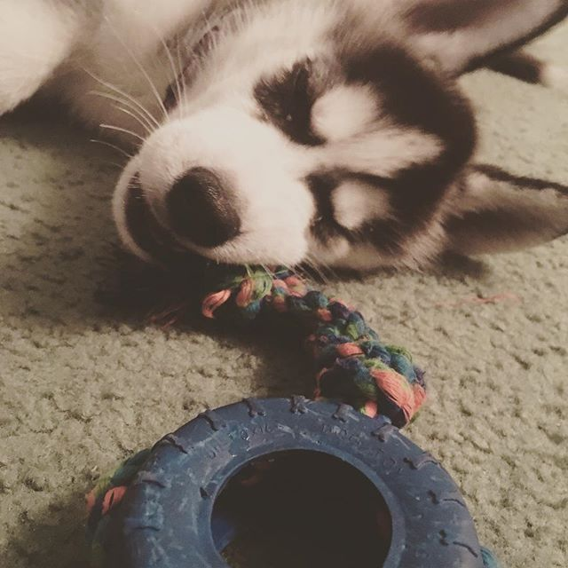 #toys with my #husky #puppy ... Getting those #giant slaying #teeth going