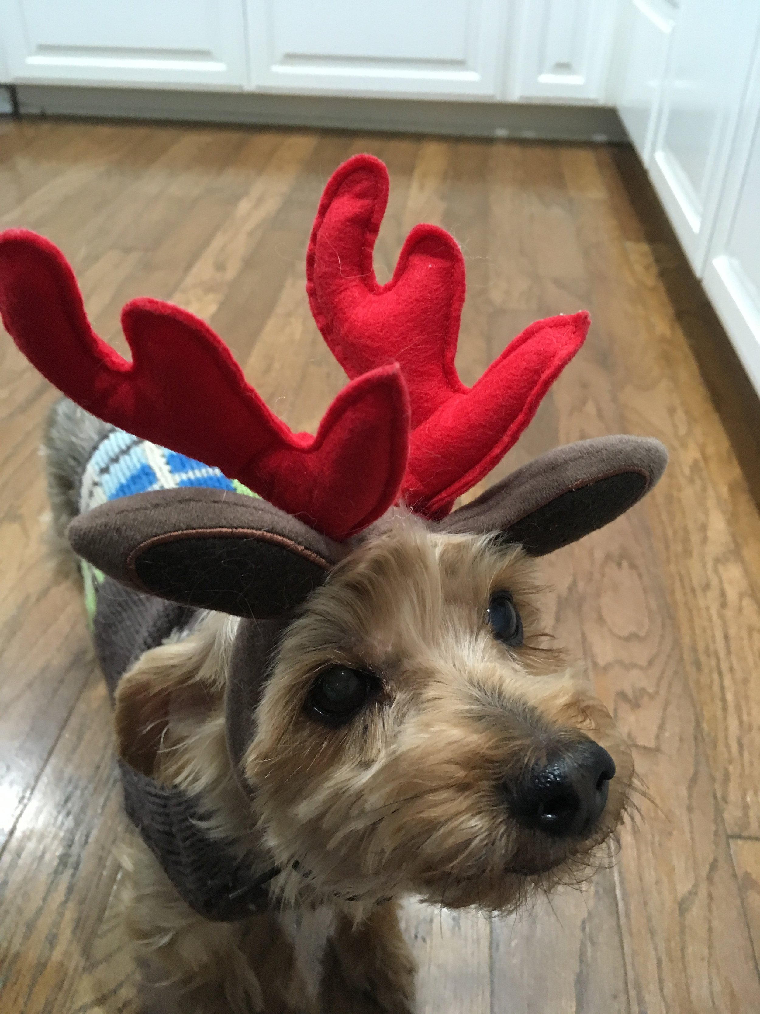 our cute little reindeer yorkie champ