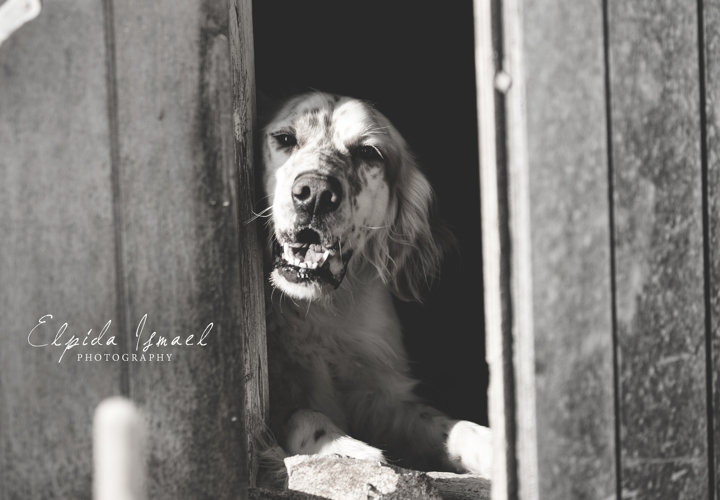 Rex English setter | Mykonos dog rescue and adoption | Luca Pisaroni and Cate Pisaroni