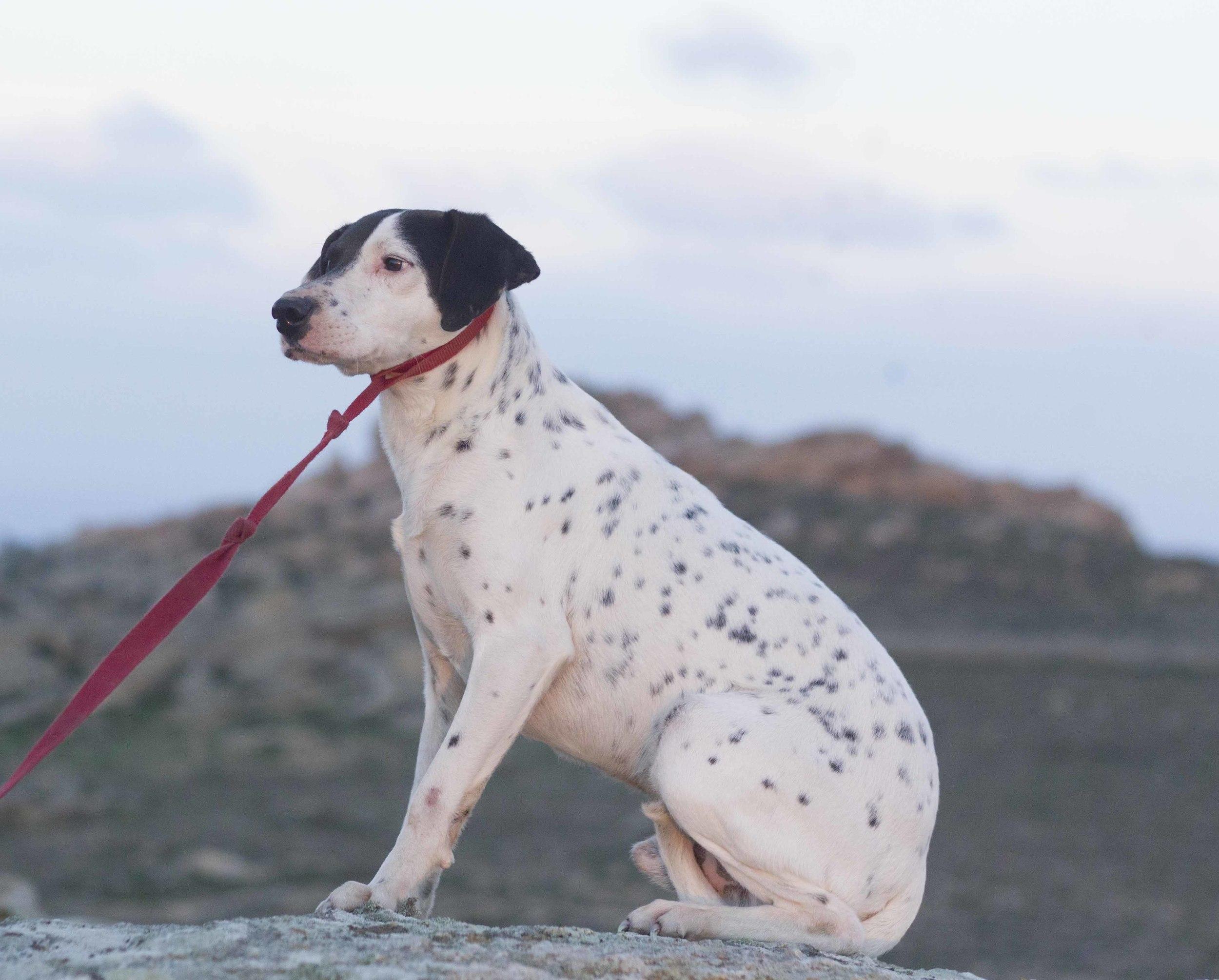 Hertz pointer mix | Mykonos dog rescue and adoption