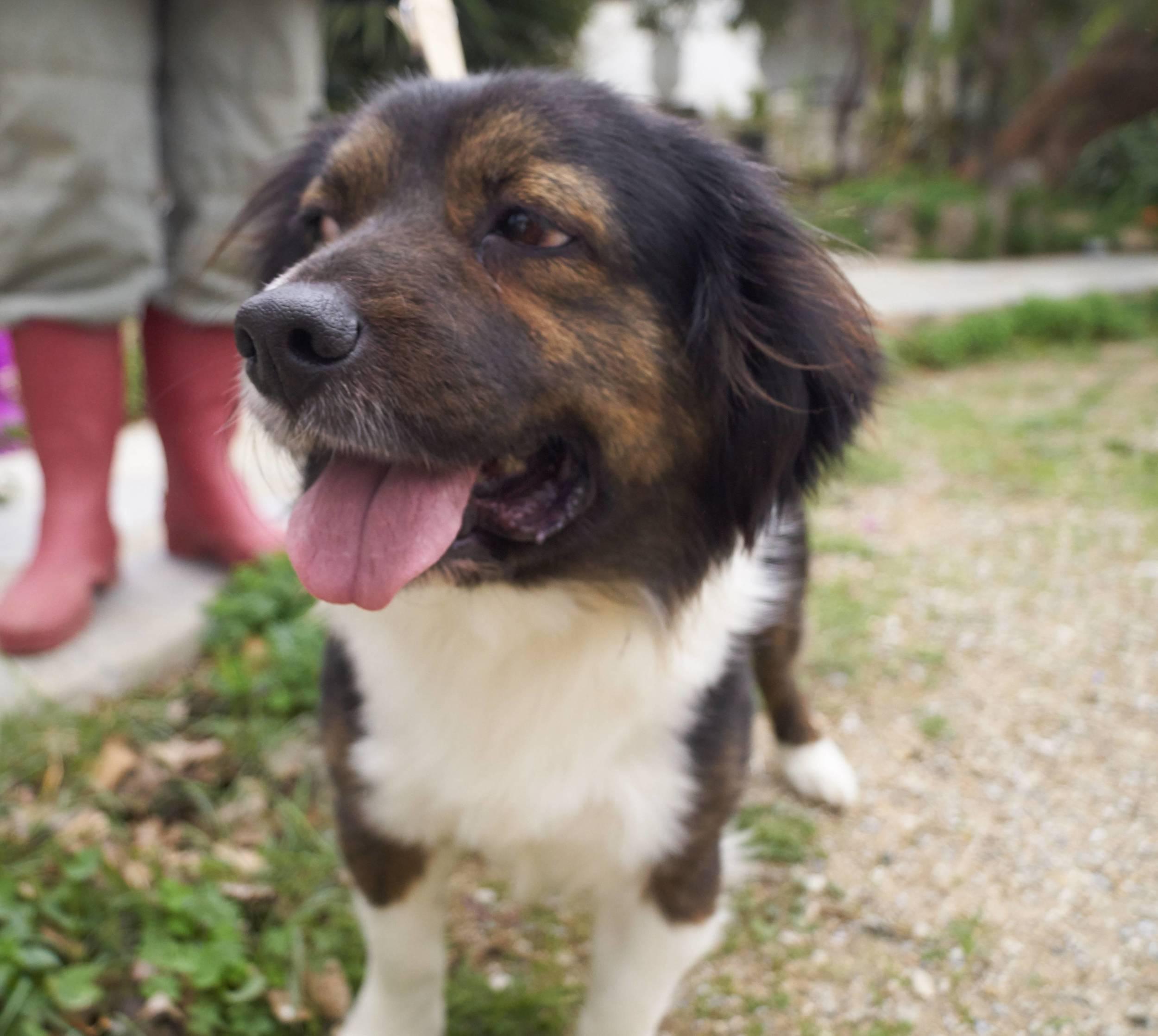 Brackie mix   Mykonos dog rescue and adoption   Ikumi Ikeda