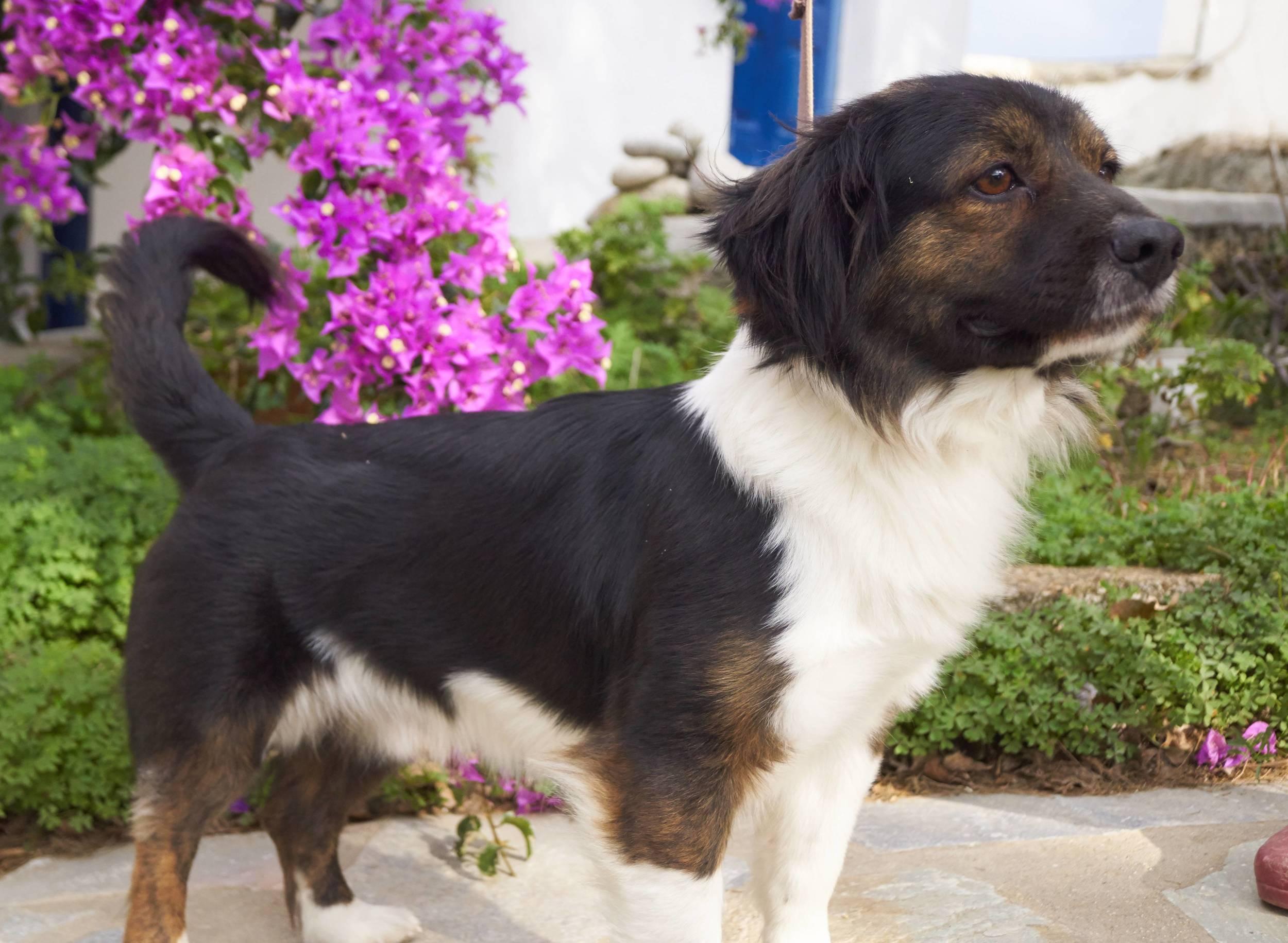 Brackie mix   Mykonos dog rescue and adoption