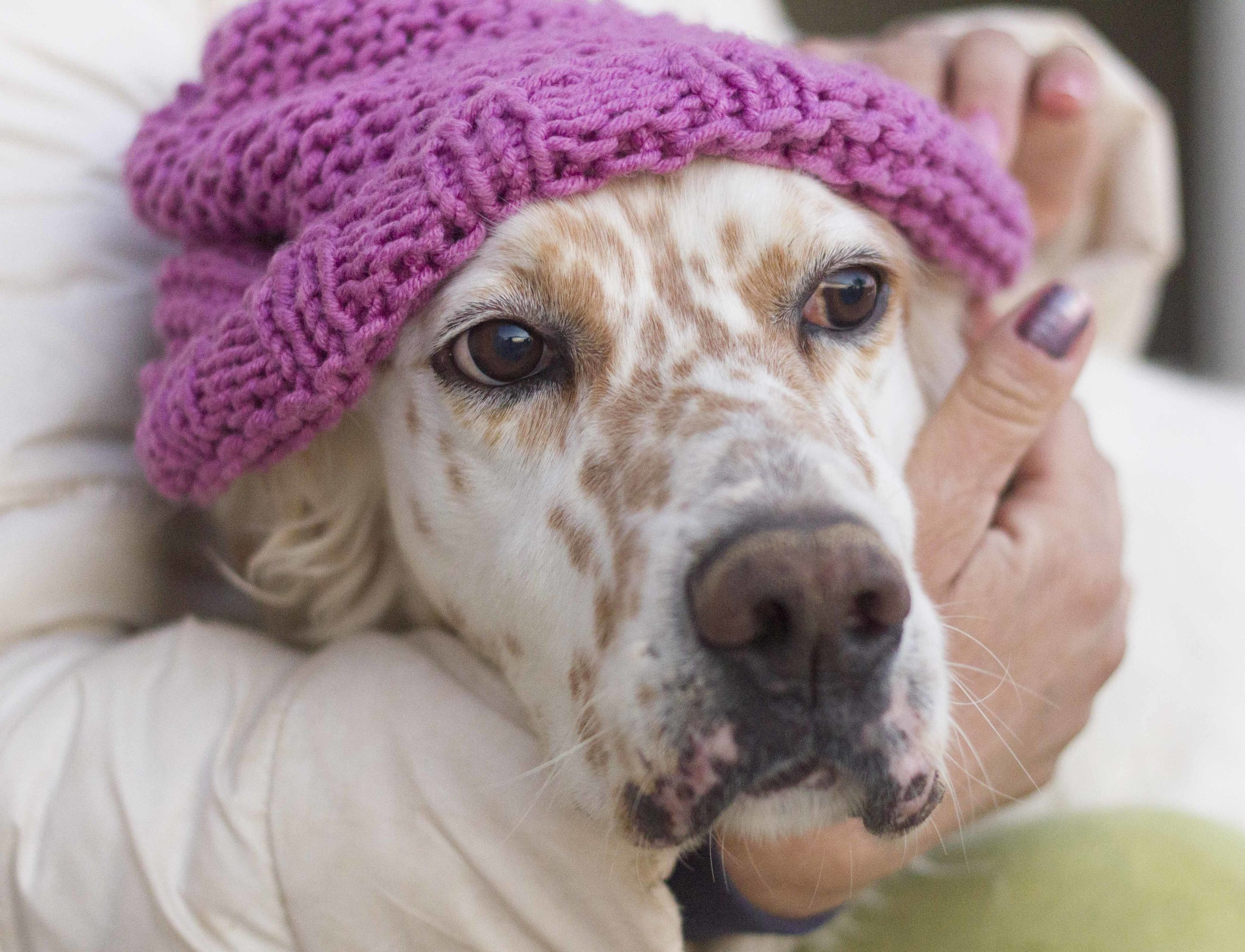 Rex English setter | Mykonos dog rescue and adoption | Luca Pisaroni and Cate PisaroniRex English setter | Mykonos dog rescue and adoption | Luca Pisaroni and Cate Pisaroni