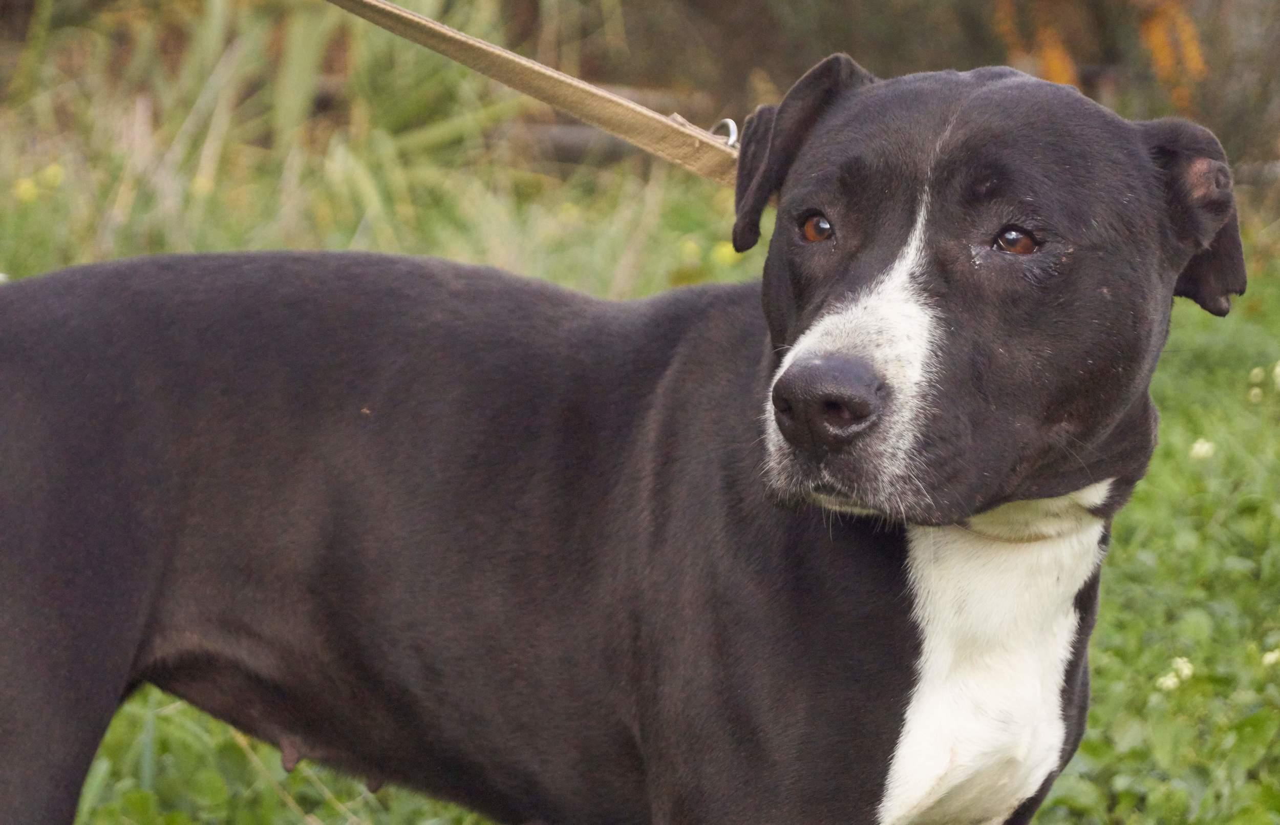 Jazz pitbull mix | Mykonos dog rescue and adoption