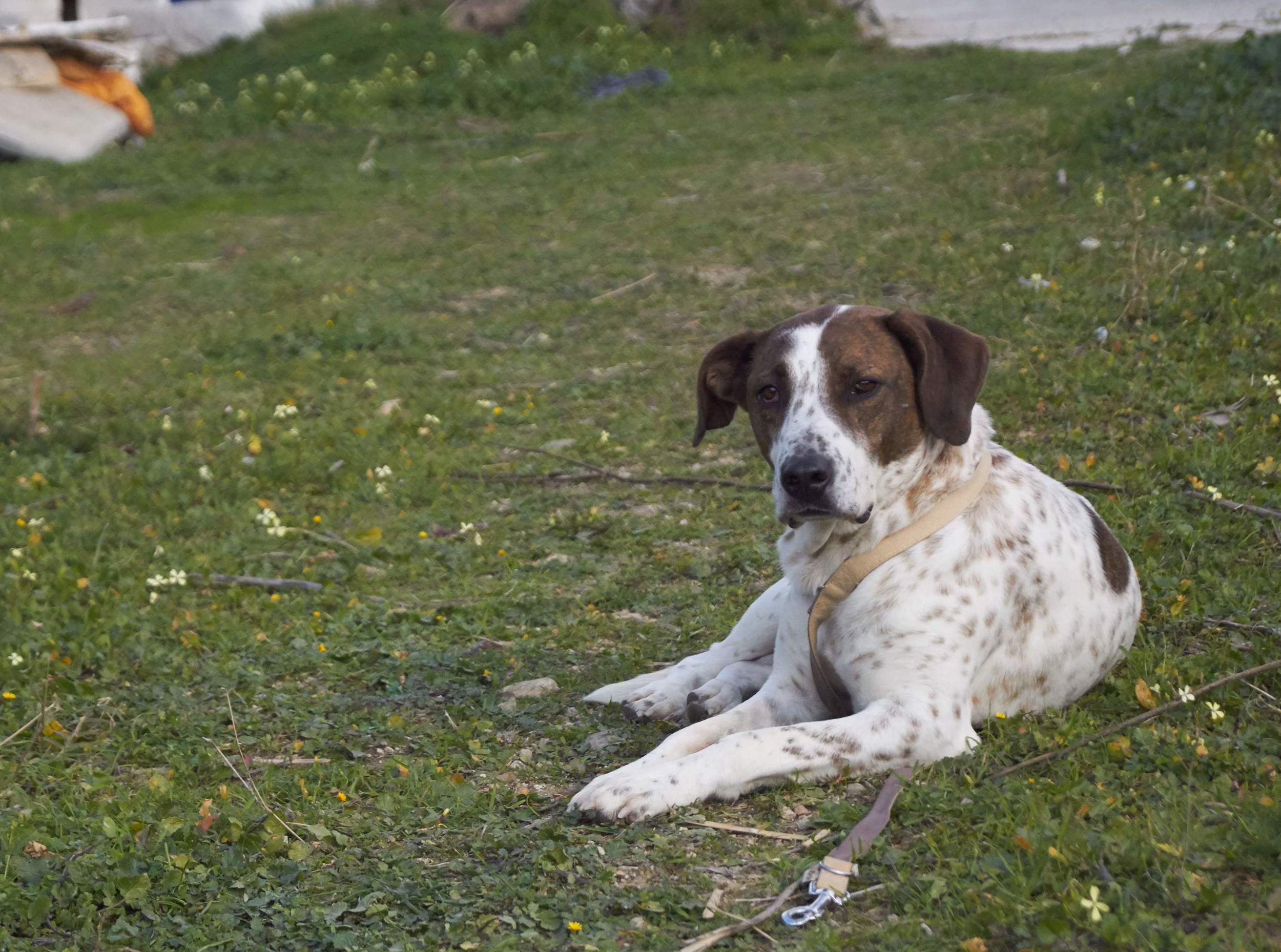 Alitis mix breed | Mykonos dog rescue and adoption | Medusa Gallery Athens