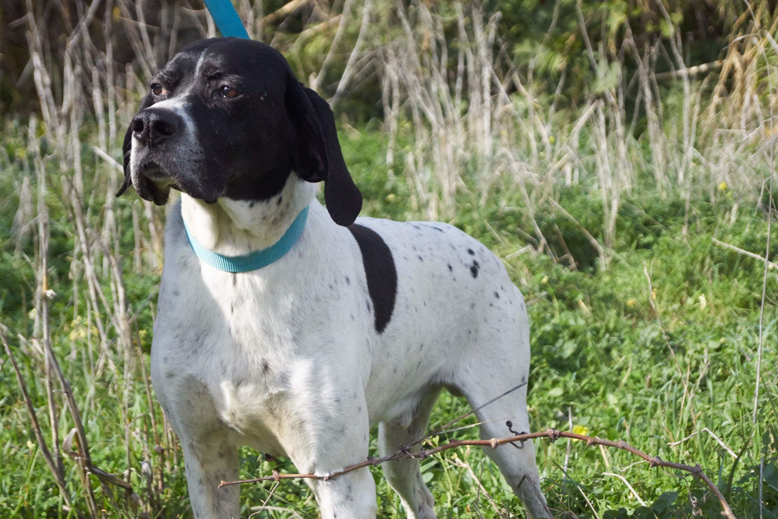 Pointerakos purebred pointer hunting dog | Mykonos dog rescue and adoption | Evie Rossopoulou | Koray User