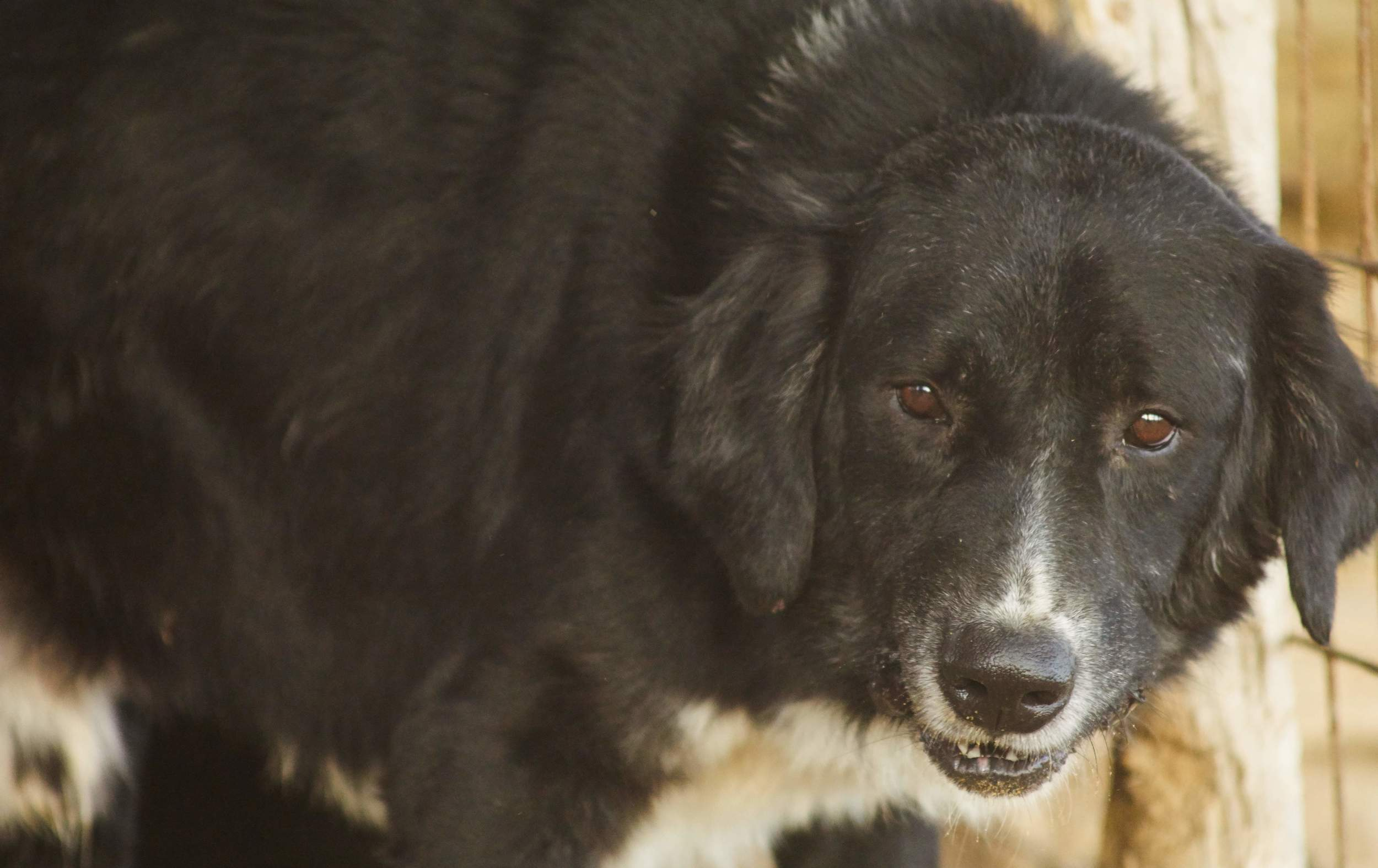 Malcom Greek sheep dog | Mykonos dog rescue and adoption | Yiannis and Angeliki Poulos