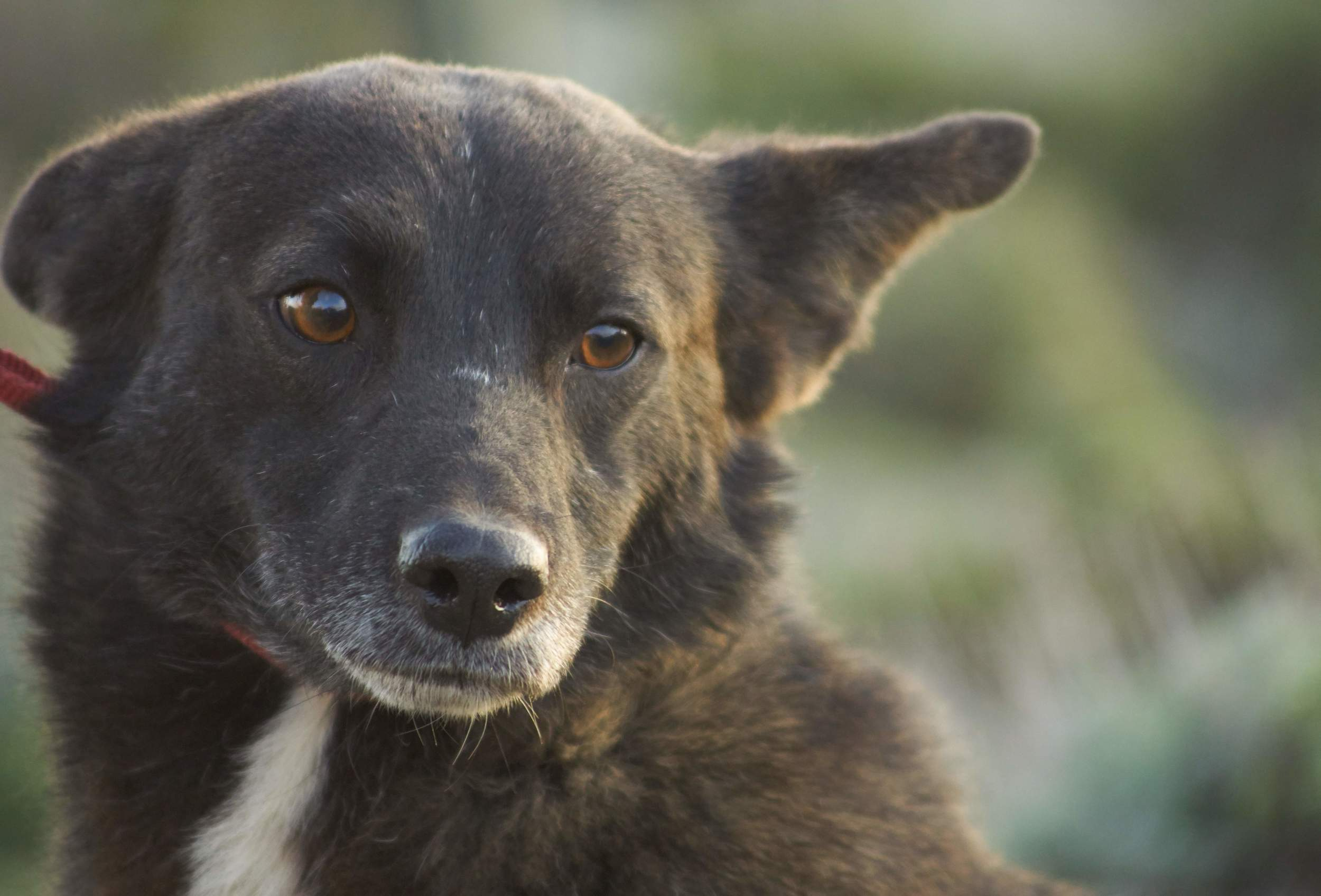 Luca mix | Mykonos dog rescue and adoption